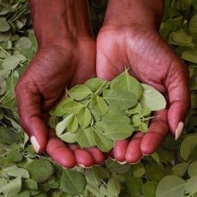 Моринга – какво предлага новата суперхрана